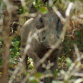 Wild boar by Jason C Robinson - Animals Other Mammals ( close up, africa, wild boar, closeup, wild animal )