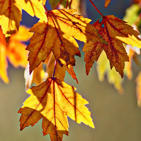 Only Days Remain by Allen Crenshaw - Nature Up Close Leaves & Grasses ( nature, crisp, fall, leaves, photography )