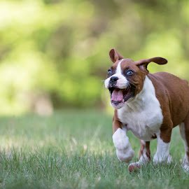 Born Free! by Tara Chumsae - Animals - Dogs Playing ( animals, dogs, boxer, funny, boxers, cute, funny pet, running, playing, puppies, crazy, pets, puppy, dog, animal,  )