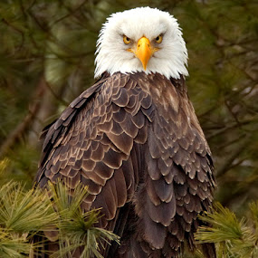 Bald Eagle Staredown by Herb Houghton - Animals Birds