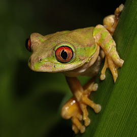 Natal Tree Frog by David Knox-Whitehead - Animals Amphibians ( red eyes, green, amphibian, frogs, amphibians, eyes )