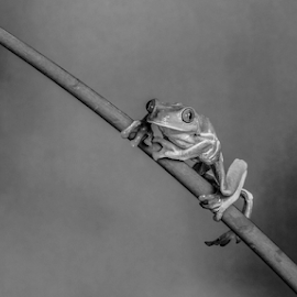 Frog by Garry Chisholm - Black & White Animals ( macro, frog, nature, amphibian, garry chisholm )