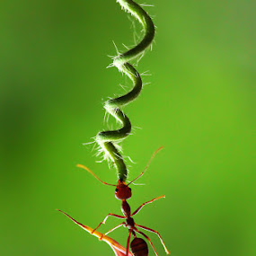 by Dwi Sudarmawan - Animals Insects & Spiders ( macro, nature, ant )