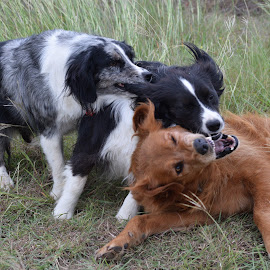Dogs Playing by Holly Dolezalik - Animals - Dogs Playing ( dogs at play, animals, wrestling, play, dogs playing )