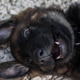 by Suzana Svečnjak - Animals - Dogs Puppies ( pets, german shepherd, puppy, dogs, smile )