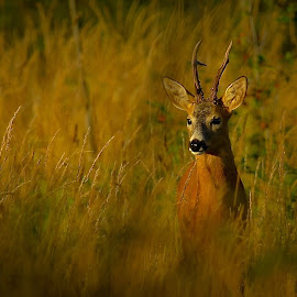 Rådjur by Michael Pelz - Animals Other