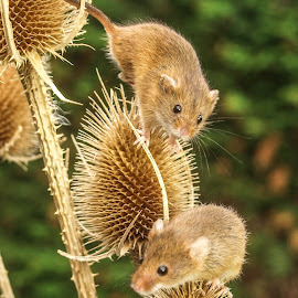 Harvest mice by Garry Chisholm - Animals Other Mammals ( mice, garry chisholm, mouse, nature, wildlife, harvest, rodent )