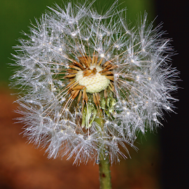 by Dipali S - Nature Up Close Other plants ( plant, old, dew, fragility, beauty, dandelions, spring, bokeh, dispersal, sun, nature, seeds, wet, light, parachute, flower, water, abstract, wind, flora, grass, seed, weed, silver, soft, fluffy, droplet, pappus, outdoor, drops, meadow, summer, air, raindrop, stem, flare, part, softness, floral )