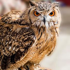 Owl by Norbert Vella - Animals Birds ( bird, owl, brown )