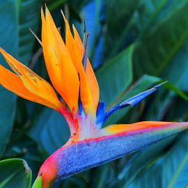 Bird of Paradise by Tim Bennett - Flowers Flowers in the Wild ( south africa, strelitzia reginea, crane flower, bird of paradise, evergreen )