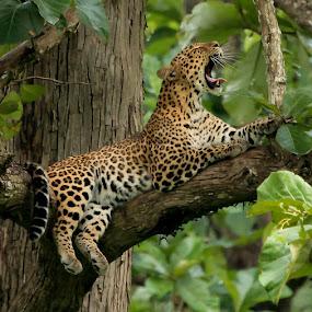 Leopard by S Balaji - Animals Lions, Tigers & Big Cats ( s.balaji, animals, nature, bigcats, leopard,  )