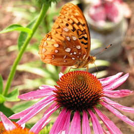 by Cathy Elliott-Burcham - Novices Only Wildlife ( orange, butterfly, pink, coneflower, insect,  )