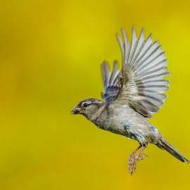 Sparrow in flight by Carl Albro - Animals Birds ( bird, flying, song sparrow, new world sparrows, bif )