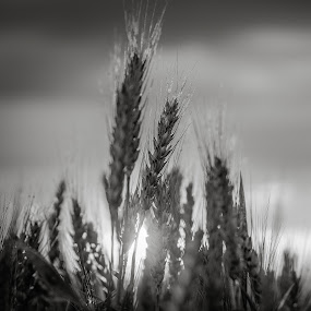 grain by Popa Marius - Landscapes Prairies, Meadows & Fields ( clouds, water, monochrome, weather, forest, transylvania )