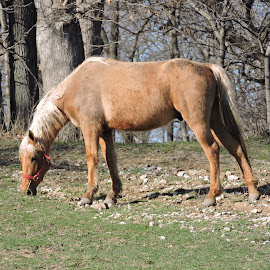 Beautiful Horse eating new grass... by Linda McCormick - Animals Horses ( new grass!, animals eating, eating, house, spring,  )