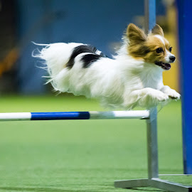 Wheeeee! by Peter Grutter - Animals - Dogs Running ( dogs, lengnau, agility )