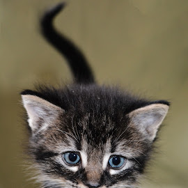 Sawyer by Michelle Predinchuk - Animals - Cats Kittens ( cat, kitten, pet, cute, feline, animal )