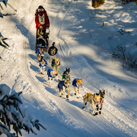 Heading In to Devils Track Lake by David Johnson - Animals - Dogs Running ( dogs, winter, colorful, john beargrease, dog sled race )