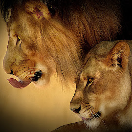 Protector by Shawn Thomas - Animals Lions, Tigers & Big Cats ( pride, predator, lion, cat, carnivore, mane, wildlife, king, large )