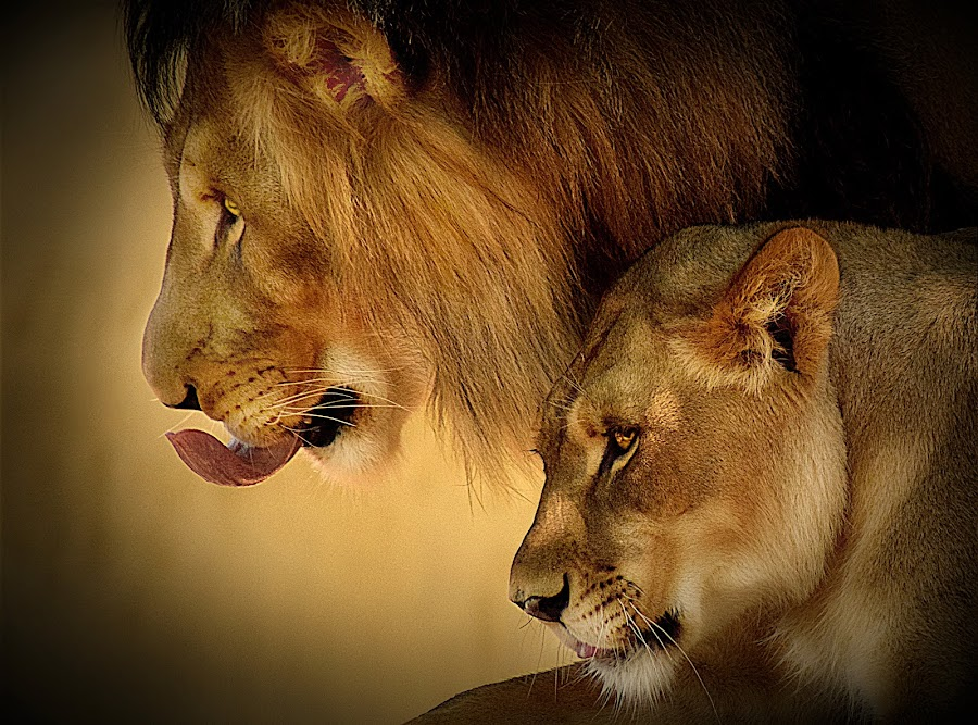 Protector by Shawn Thomas - Animals Lions, Tigers & Big Cats ( pride, predator, lion, cat, carnivore, mane, wildlife, king, large,  )