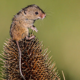 Harvest Mouse by Garry Chisholm - Animals Other Mammals ( mice, garry chisholm, nature, harvest mouse, wildlife, rodent )
