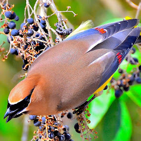 Colorful Waxwing by Patricia Warren - Animals Birds ( bird, winter bird, nature, avian, wildlife, cedar waxwing, animal,  )