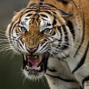 Angry by Charliemagne Unggay - Animals Lions, Tigers & Big Cats ( tiger, pwcmovinganimals, angry, mammal, animal,  )