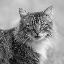 Hello Kitty by Lynn Kohut - Animals - Cats Portraits ( cat, black and white, pet, feline, animal )