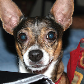 Sedge! by Valorie Unruh - Animals - Dogs Portraits ( mixed breed, rat terrior, chihuahua, dog )