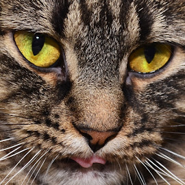Eyes and Tongue by Michael Cowan - Animals - Cats Portraits ( cat, shelter, adopt )