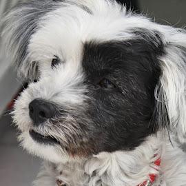 Cute Greek Dog #2 by Cal Brown - Animals - Dogs Portraits ( travel location, greek, greece, islands, oia, dog, cute dog, travel photography, santorini, animal )