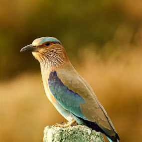 Roll on by Priyank Jha - Animals Birds ( nikon d5100, wildlife, india, birds, raipur, indian roller )