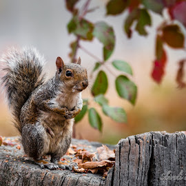 Squirrel tales by Davide Sbiroli - Animals Other