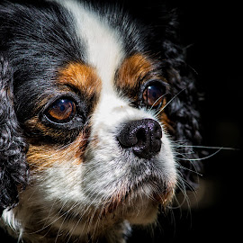 by Tracey Dolan - Animals - Dogs Portraits