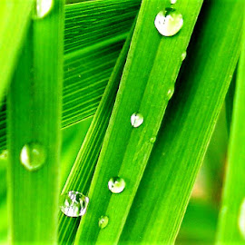 Raindrops by Martin Stepalavich - Nature Up Close Leaves & Grasses (  )