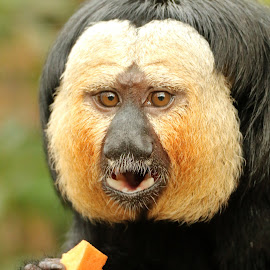 Saki Monkey by Ralph Harvey - Animals Other Mammals ( wildlife, ralph harvey, monkey, marwell zoo, animal )