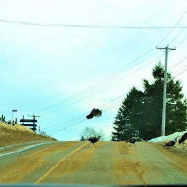 Wild Turkey by Sylvain Montpetit - Animals Other