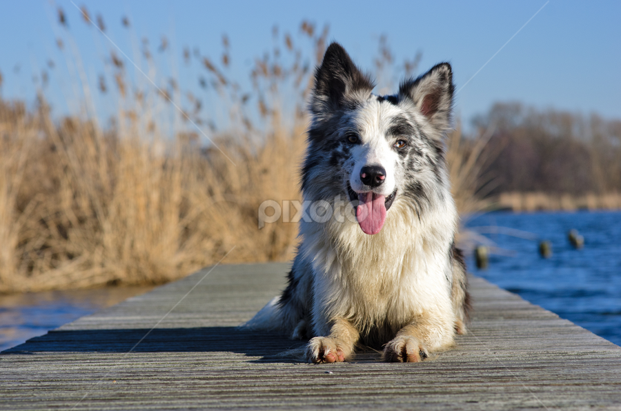 On the deck by Karen Havenaar - Animals - Dogs Portraits ( water, border collie, tongue, blue merle, smile, deck, dog, posing )