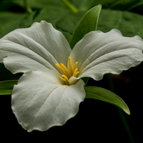 by Ernie Page - Flowers Flowers in the Wild ( wildflowers, large flowered trillium, nature, trillium, flowers, close up )