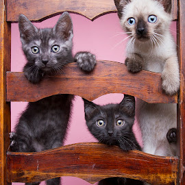 kahlua's babies by Eric Christensen - Animals - Cats Kittens ( grey, pink, kittens, siamese, black )