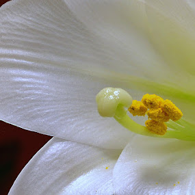 Easter Lily  by William Lallemand - Nature Up Close Flowers - 2011-2013