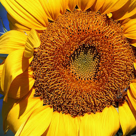 Sunflower   by Tony Huffaker - Flowers Single Flower ( bright, summer, sunflower, yellow, close-up, flower )