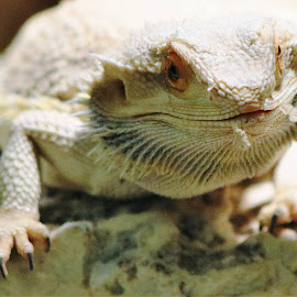 Smiley by Roxanne Dean - Animals Reptiles ( hairy, claws, rocks, smiling creature, orange eyes )