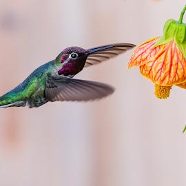 "Abutilon ""Crouching Tiger' by Jim Malone - Animals Birds ( hummingbirds )"