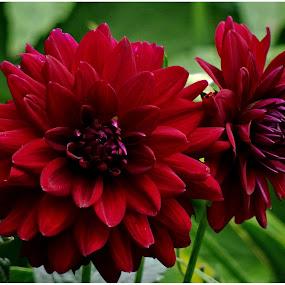 Red Dahlia by Doreen L - Flowers Flower Gardens ( red, garden flowers, dahlia,  )