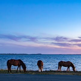 Wild Horses at Sunset on Assateague Island.  by Carol Ward - Animals Horses ( assateague island md, sunset, assateague island, beautiful sky, wild horses )