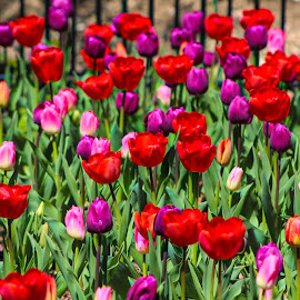 by Mark Wathen - Flowers Flower Gardens ( arrangement, red, colorfull, tulips, flowers )