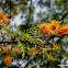 southern silky oak, silk oak or silky oak, or Australian silver oak