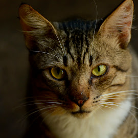 by Simona Ciglenean - Animals - Cats Portraits