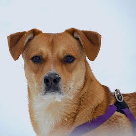 Snow Dog by Rob Kovacs - Animals - Dogs Portraits ( look, dogs, winter, snow, dog, portrait )